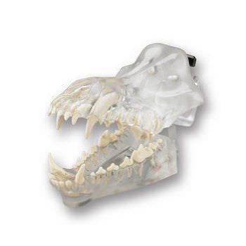 Denture anatomical model / for canines DGD Columbia Dentoform®