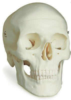 Skull anatomical model / articulated 27466 FYSIOMED NV-SA