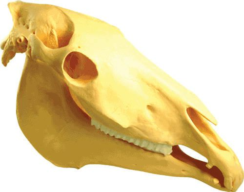 Skull anatomical model / for equines 98010 Harlton's Equine Specialties