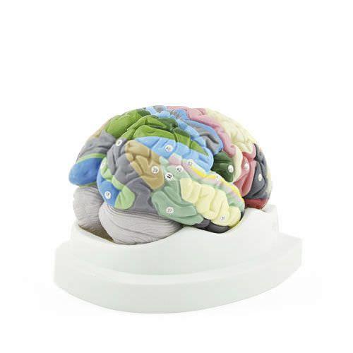 Brain anatomical model H130888 NetMed