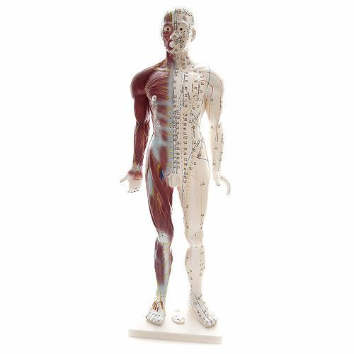 Muscular anatomical model / acupuncture NetMed