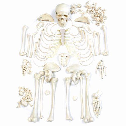 Skeleton anatomical model / disarticulated NetMed