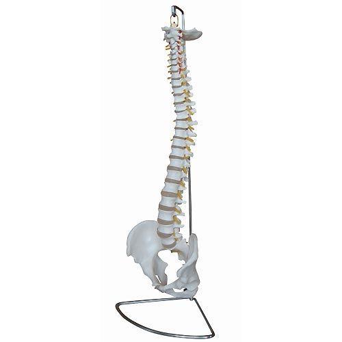 Vetebral column anatomical model / with removable pelvis NetMed