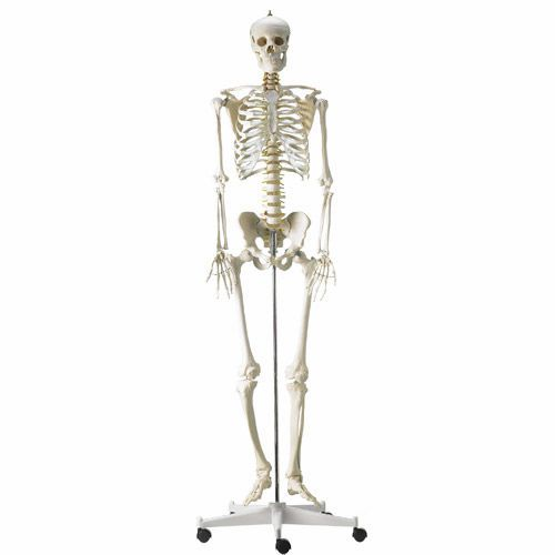 Skeleton anatomical model / articulated / with flexible spine H495121 NetMed
