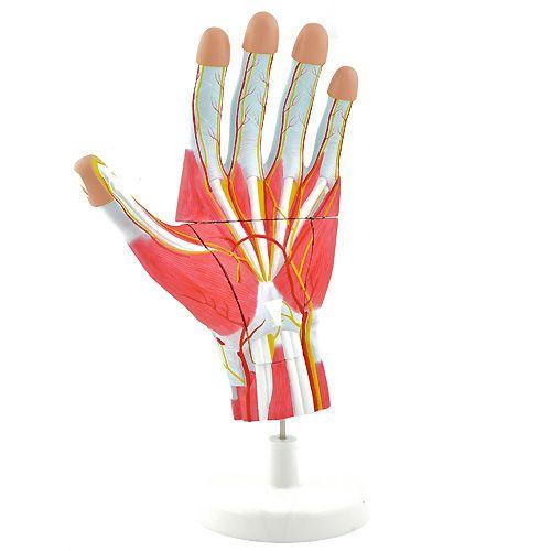 Hand anatomical model NetMed