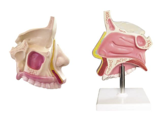 Nasal cavity anatomical model YA/R021 YUAN TECHNOLOGY LIMITED
