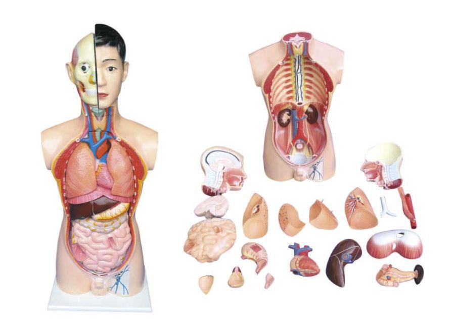 Torso anatomical model / male YA/T021 YUAN TECHNOLOGY LIMITED