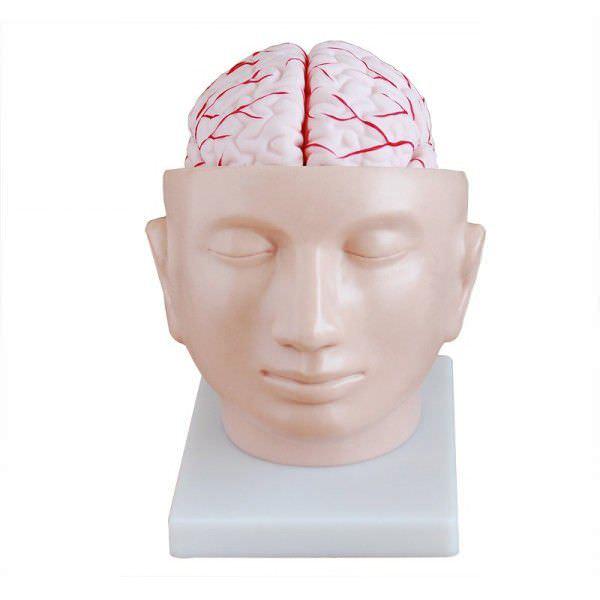Head anatomical model YA/N028A YUAN TECHNOLOGY LIMITED
