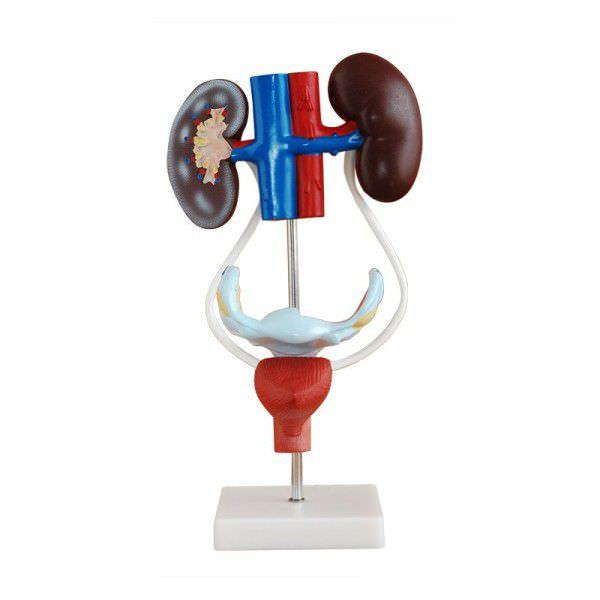 Urinary system anatomical model / female YA/U012 YUAN TECHNOLOGY LIMITED
