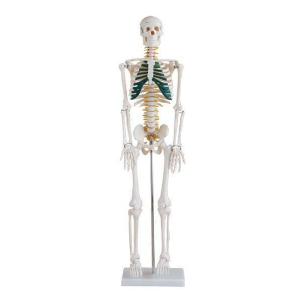 Skeleton anatomical model / miniature YA/L012A YUAN TECHNOLOGY LIMITED