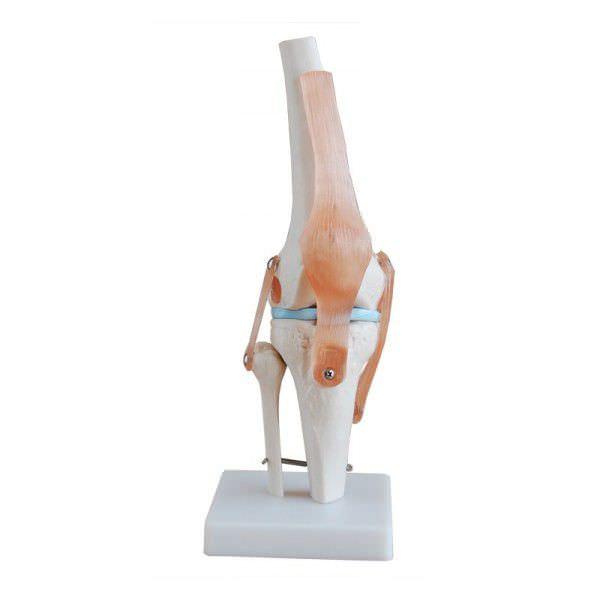 Knee anatomical model / joints YA/L045 YUAN TECHNOLOGY LIMITED
