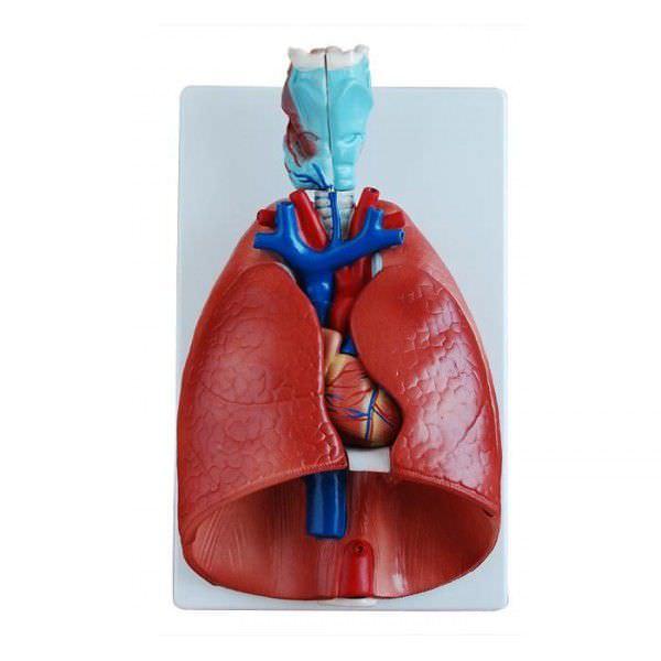 Respiratory system anatomical model YA/R011 YUAN TECHNOLOGY LIMITED