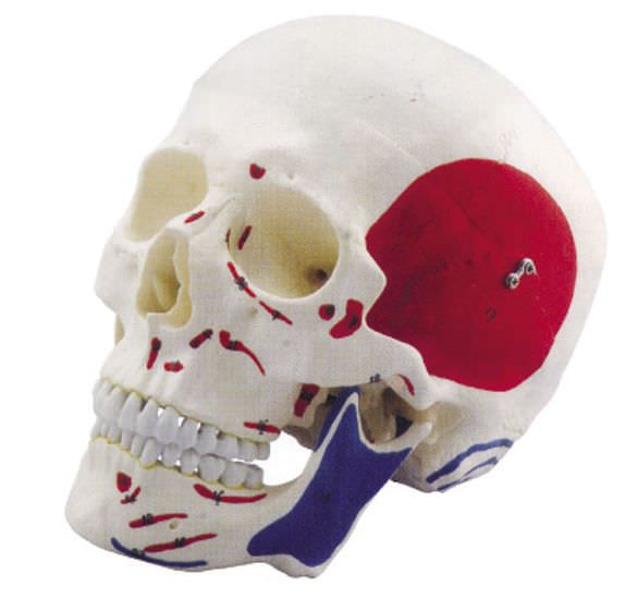 Skull anatomical model / articulated / with muscle marking YA/L021D YUAN TECHNOLOGY LIMITED