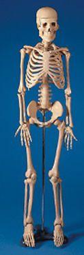 Skeleton anatomical model SB22564 Simulaids