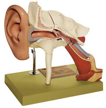 Ear anatomical model DS 1 SOMSO