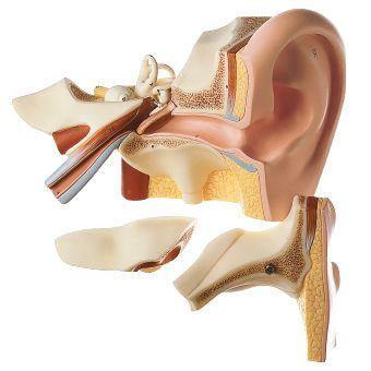 Ear anatomical model DS 5 SOMSO