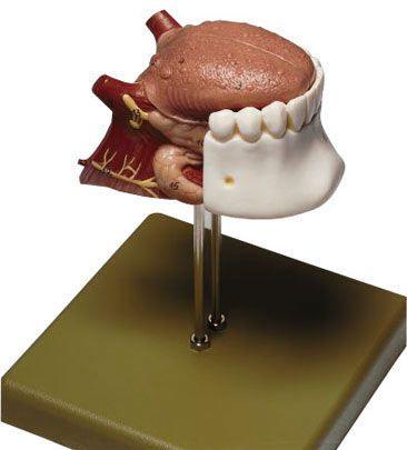 Tongue anatomical model FS 8 SOMSO