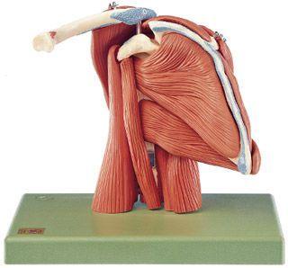 Shoulder anatomical model / muscle QS 55/6 SOMSO