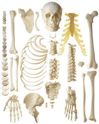Skeleton anatomical model / disarticulated QS 41 SOMSO