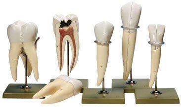 Tooth anatomical model ES 11 SOMSO
