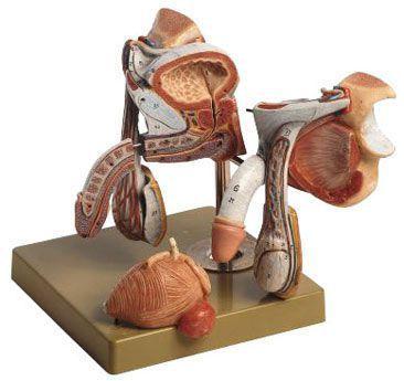 Male genital organ anatomical model MS 3 SOMSO