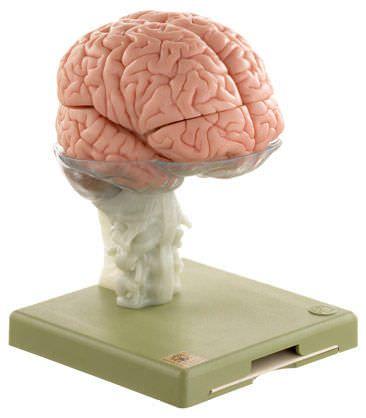 Brain anatomical model BS 25 SOMSO