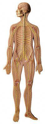 Nervous system anatomical model BS 27 SOMSO