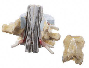 Vertebra anatomical model / lumbar BS 28 SOMSO