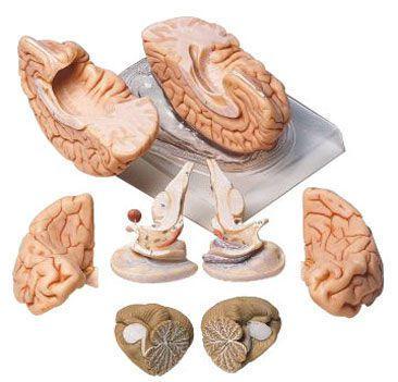 Brain anatomical model BS 20 SOMSO