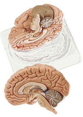 Brain anatomical model BS 21 SOMSO