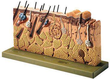 Skin anatomical model KS 3 SOMSO