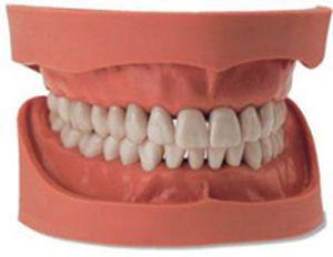 Denture anatomical model Kavo