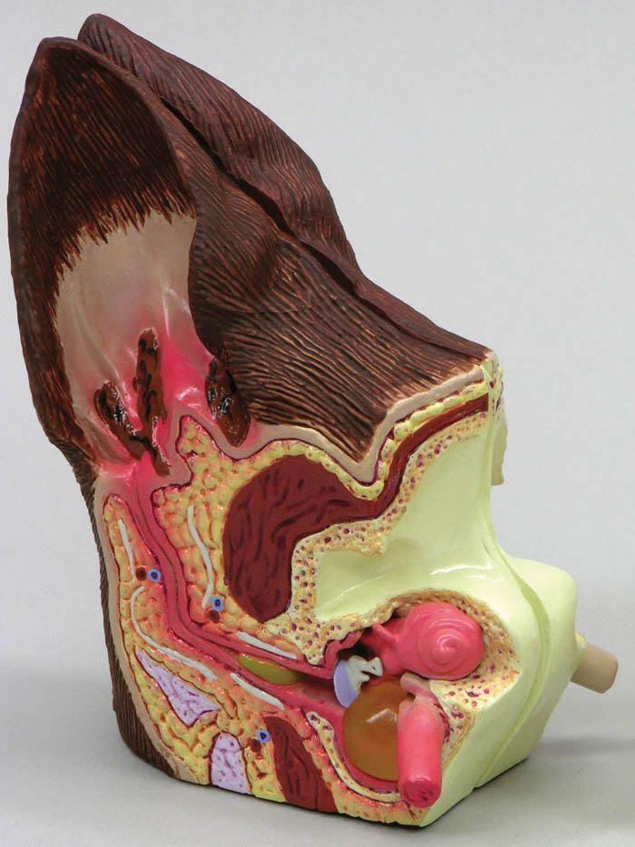 Ear canal anatomical model / veterinary J0772 Jorgensen Laboratories