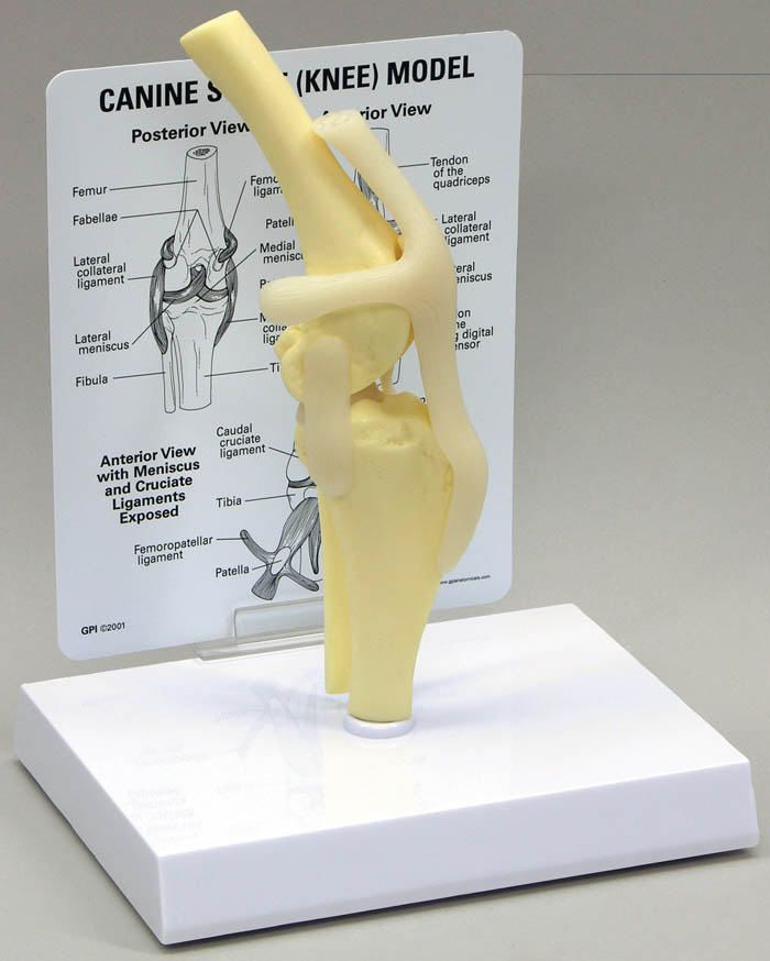 Knee anatomical model / joints / for canines J0776 Jorgensen Laboratories