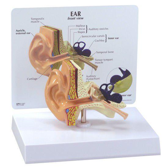 Ear canal anatomical model 2250 GPI Anatomicals