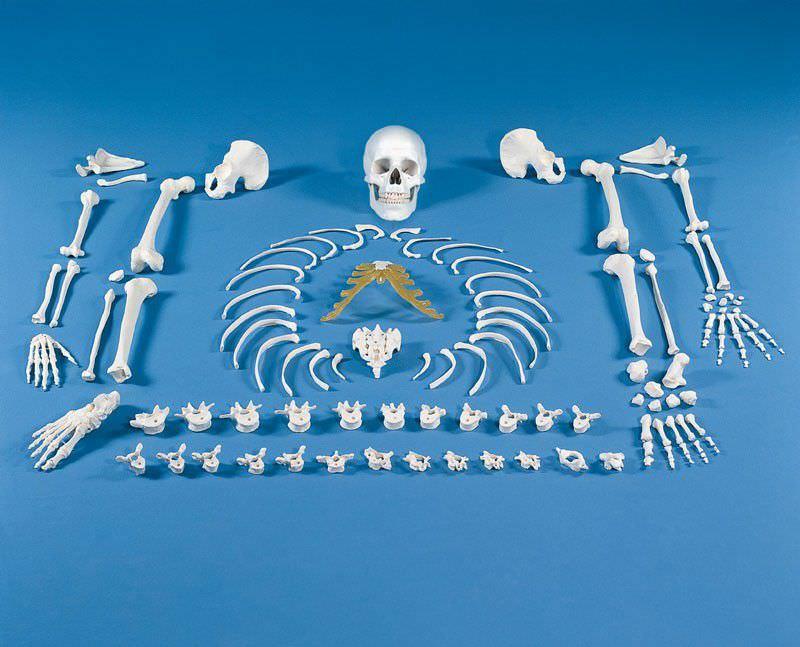 Skeleton anatomical model / disarticulated 3020 Erler-Zimmer Anatomiemodelle
