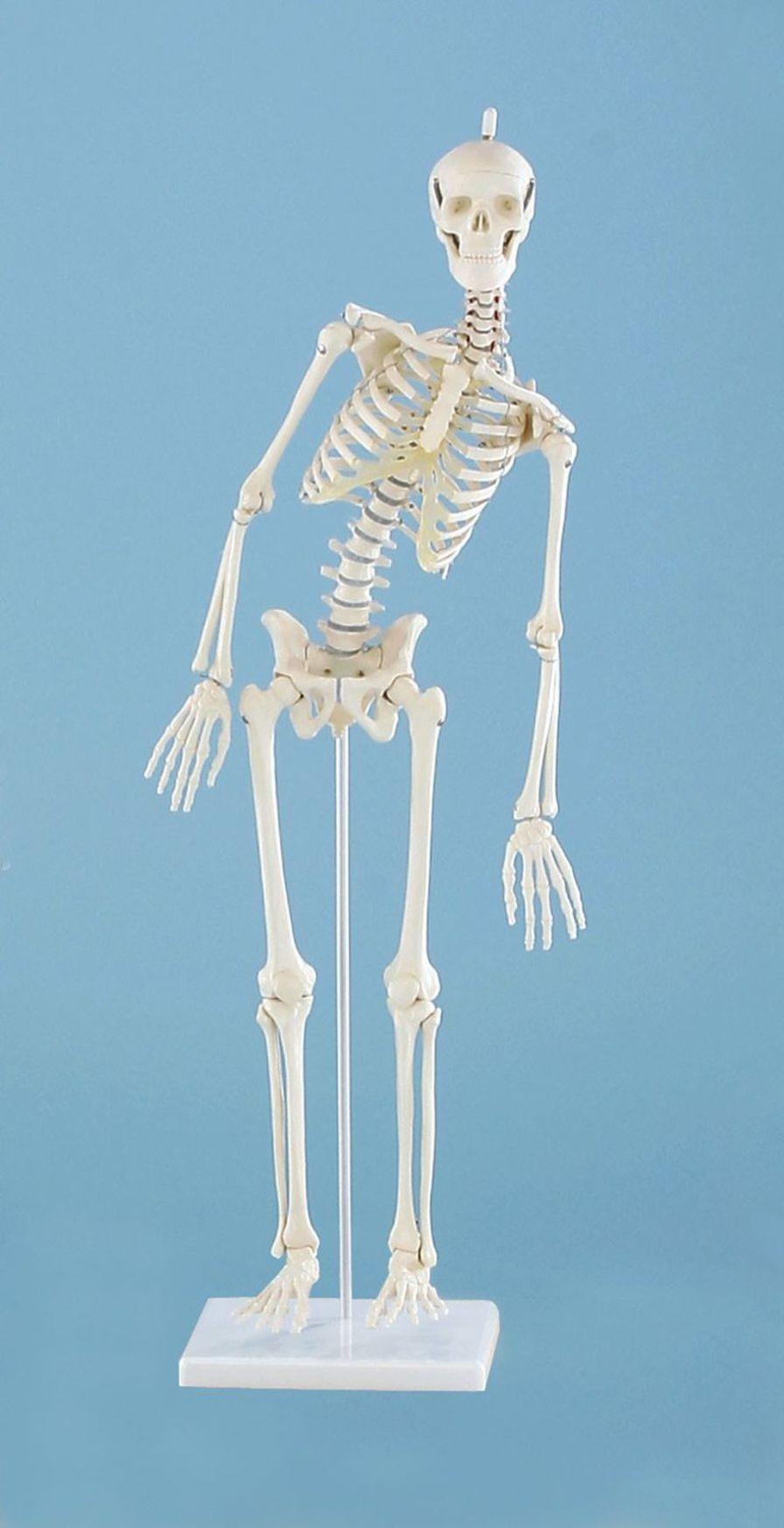 Skeleton anatomical model / miniature 3040 Paul Erler-Zimmer Anatomiemodelle