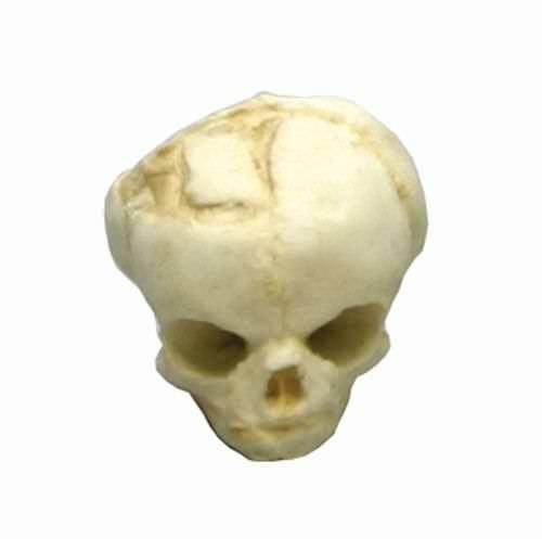 Skull anatomical model / fetus / articulated 4767 Erler-Zimmer Anatomiemodelle