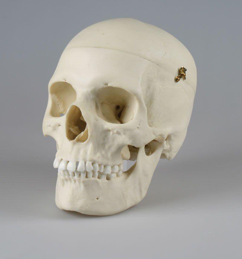 Skull anatomical model / articulated 4715 Erler-Zimmer Anatomiemodelle