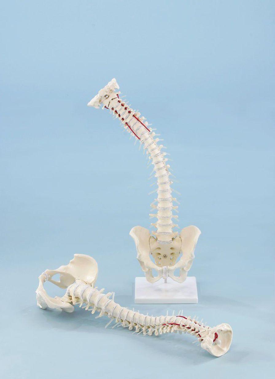 Vetebral column anatomical model / flexible / with removable pelvis 4009 Erler-Zimmer Anatomiemodelle