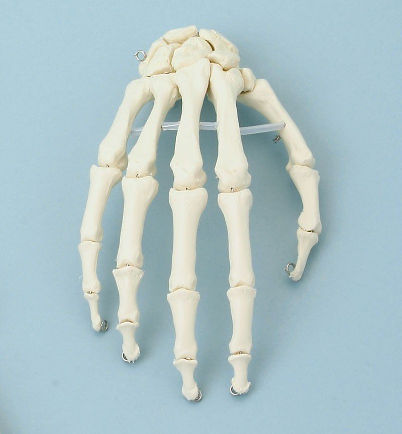 Skeleton anatomical model 6001 Erler-Zimmer Anatomiemodelle