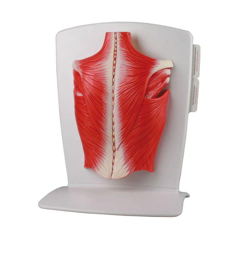 Back anatomical model / muscle M290 Erler-Zimmer Anatomiemodelle