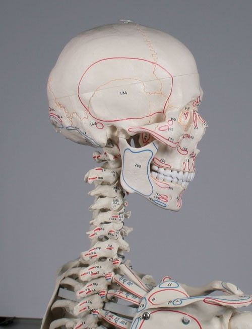 Skeleton anatomical model / articulated / with muscle marking / with flexible spine 3015 Peter Erler-Zimmer Anatomiemodelle