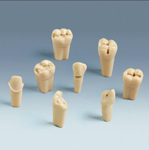 Tooth anatomical model ANA-4 ZP frasaco