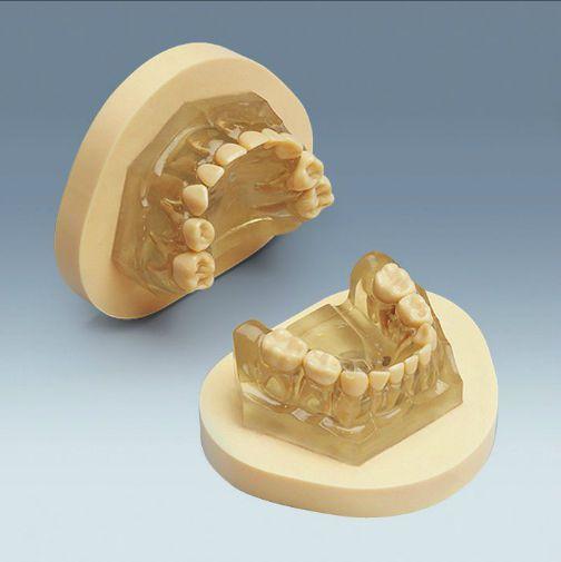 Denture anatomical model / child AM-5 99-001 frasaco