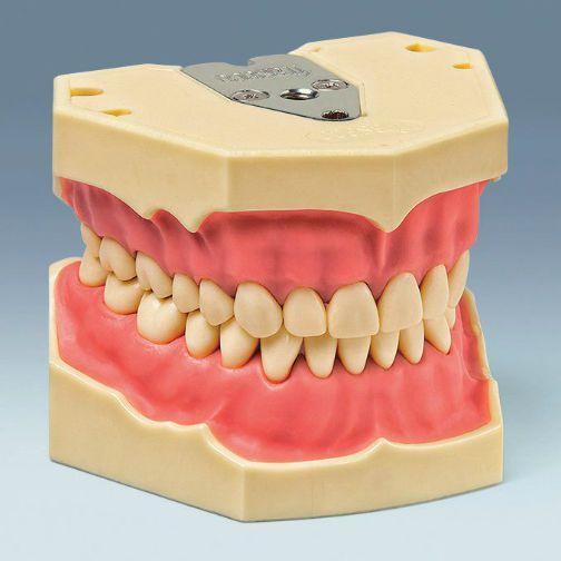 Denture anatomical model AG-3 W 20 frasaco