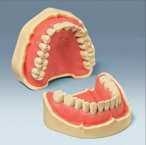 Denture anatomical model ANA-4 V CER frasaco