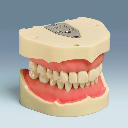 Denture anatomical model ANA-4 V frasaco