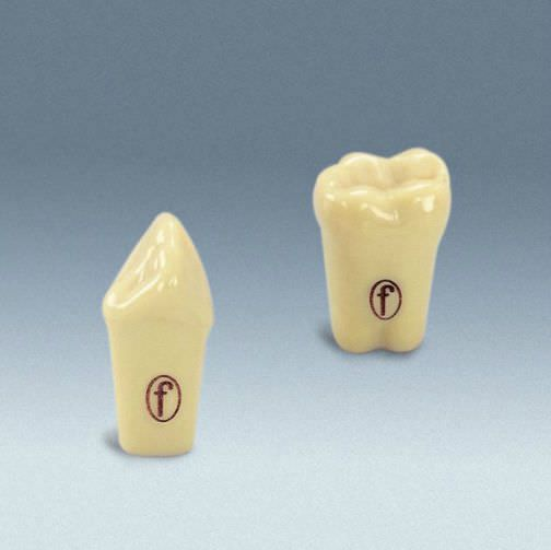 Tooth anatomical model A-3 ZEG frasaco