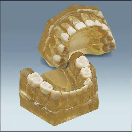 Denture anatomical model / child AM-5 frasaco